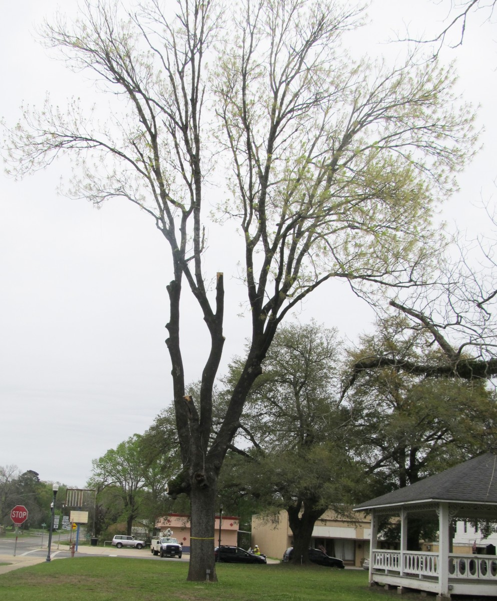 Historic Trees Discussed At Commissioners Court – The